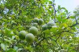 Zitrusfrucht Aurantium Frucht-Auszug Nobiletin 98%, CAS 478-01-3