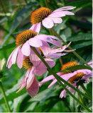 Het Kruid van Echinacea P.E