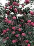 Rotes und grosses Erzeugnis FUJI-Apple in der Shandong-Bauernhof-Fabrik