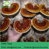 Reishi 버섯