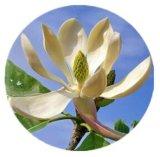 Manufactroy Honokiol 98 % d'alimentation, Honokiol, de magnolia extrait de l'écorce Magnolol