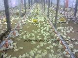 Matériel automatique de ferme avicole pour le grilleur, éleveur, poulet de couche