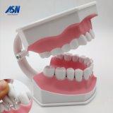 Versión parcial de programa dental Hesperus de la estructura de los dientes que aplica con brocha