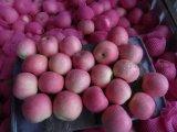 حارّ يبيع طازج بروز علاوة نوعية أحمر [فوجي] تفافيح