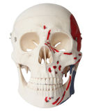 Muscolo umano del cranio del commercio all'ingrosso della fabbrica della Cina contrassegnato modello di scheletro