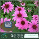 Выдержка Purpurea Echinacea (кислота 4% Polyphenol/4% Cichoric)