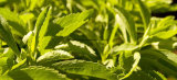polvere dell'estratto di Stevia 100%Natural