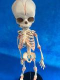 Torso esqueleto del bebé Modelo Enfermería Médico para la Enseñanza