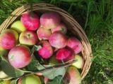 Gala verde fresca de calidad superior Apple