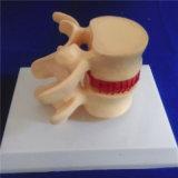 人間の骨組椎骨のコラムの医学のデモンストレーションの生物学モデル