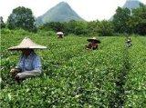 中国の緑の茶葉のサンドラの有機性ブランド