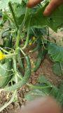Unigrow organisches Biodüngemittel für das Gurke-Pflanzen