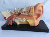 Medizinisches unterrichtendes Ohr anatomisches Vorführung-Modell (R070103)