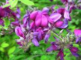 LespedezaのCapitataの純粋で自然なエキス/Quercetin; フラボン紫外線によって6%