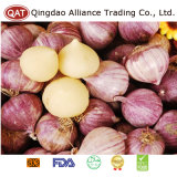 Signal Quality Fresh Solo Garlic with Competitive Price