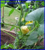 トマトの螺線形サポートプラント成長する螺線形の棒