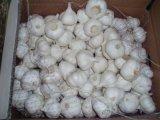 Carnes frescas de branco puro alhos originários da China