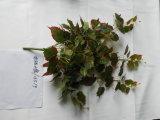 Piante e fiori artificiali di attaccatura del Pothos dorato Img_20151201_144740 del Bush