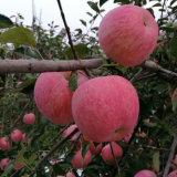 1 слой краснеет FUJI Apple с хорошим цветом
