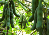 よいQuanlityのビロード豆のエキスLevodopa