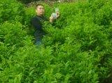 [أونيغروو] [أرغنيك فرتيليسر] [ميكروبيل] على [غرين تا] يزرع