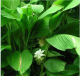 100% Natural orgánico Extracto de raíz de la cúrcuma el 95% de la curcumina