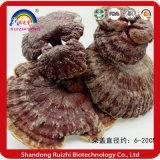Дикой lucidum ganoderma Basswood // /Lingzhi Reishi грибов