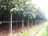 Telefono mobile di UMagnolia Grandifloranlocked (A1600)