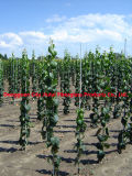Borne de pouco peso da sustentação de FRP com o de grande resistência para a sustentação da uva