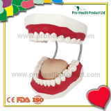 의학 치과 플라스틱 인간적인 이 모형