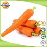Frais de carottes de la nouvelle récolte chinois avec le carton