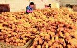 150g-300g китайских овощей свежего имбиря