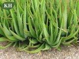 Aloeのヴィエラの純粋で自然なエキス、Aloe Barbadensisミラー