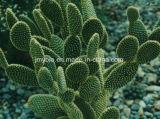 Perdita di peso di vendita calda Caralluma organico Fimbriata/estratto del cactus