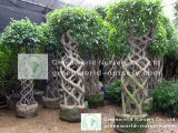 Figura della gabbia del Ficus, figura quadrata, figura rotonda