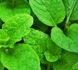La calidad de alta el 50-80% Mín Aceite Esencial de aceite de menta verde