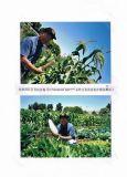 Unigrow organisches Düngemittel auf dem Mais-Pflanzen