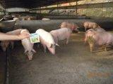Melhoria do crescimento dos rebanhos animais e das aves domésticas na criação de animais do porco