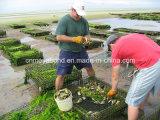 HDPE Auster sperrt Beutel-Netz für Aquakultur ein