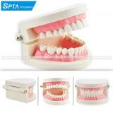 Dentiste dentaire chair rose gencives dent Dents enseigner le modèle standard