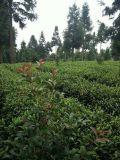 El Té de China de Guizhou Jade Pearl el té verde chino