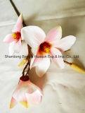Magnolia fleurs de soie