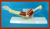 Heißer Verkaufs-natürliche Größen-Krümmer-Verbindung mit Funktionsmuskel-anatomischem Ausbildungs-Modell