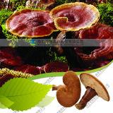 Китайский природных срез всей части Reishi lucidum ganoderma