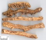 Natural Rhizoma Anemarrhenae Extracto de 10: 1