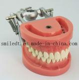 Modèle standard de soins dentaires avec 32pcs les dents et articulateur DP