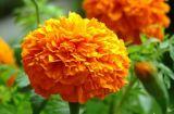 محترفة مصنع إمداد تموين [مريغلد] زهرة مقتطف برتقالين 5%
