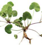Порошок выдержки выдержки Centella Asiatica или Kola Gotu