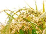 Gamma выдержка рисовых отрубей Oryzanol 99% обрабатывая синдром менопаузы женщин