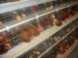 طبقة (بيضة) يحبس دجاجة نظامة أو كلّ [بوولتري فرم قويبمنت]